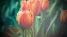 Wallpaper: http://desktoppapers.co/mu00-flower-tulip-green-vignette-love-nature/ via http://DesktopPapers.co : mu00-flower-tulip-green-vignette-love-nature