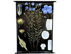 Flower Wall Decoration, Blue Flax, Educational Botany Map, German School Pull Down Chart, Jung Koch Quentell, 1970s