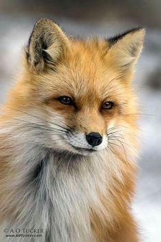 red fox ♡♡♡♡