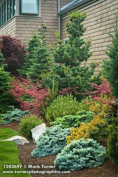 Mixed border ~ dwarf conifers, Japanese maple
