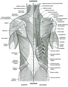 human-muscular-system-diagram-363 | diagram picture | biogeo3eso, Muscles