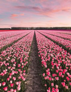 tulips garden care The Netherlands when all 7 million tulips. tulips garden ca Spring Aesthetic, Nature Aesthetic, Flower Aesthetic, Garden Types, Floral Flowers, Beautiful Flowers, Bouquet Flowers, Spring Flowers, Art Flowers