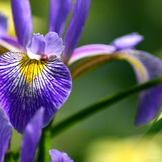 'Iris' by Sophie Watson Art Work, Iris, Plants, Photography, Image, Artwork, Work Of Art, Photograph, Fotografie
