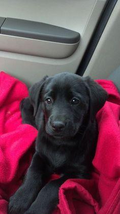Black Lab #Puppy!