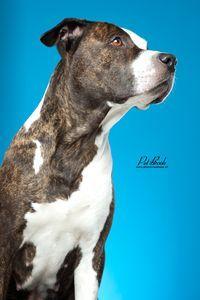 #pitbull photography