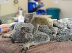 Cute Baby Animals, Animals And Pets, Beautiful Creatures, Animals Beautiful, Baby Otters, Quokka, Animal Facts, Whippet, Funny Cute
