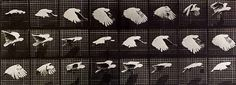 Figure 6.45: In 1887 Edward Muybridge captured this sequence of photos of a cockatiel in flight in an effort to understand just how birds fl...
