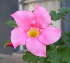 Mandevilla Houseplants – How To Care For Mandevilla Indoors