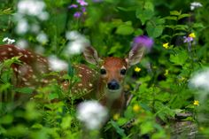 Portrait of a Fawn ~ Huron River Watershed, Michigan | by j van cise photos