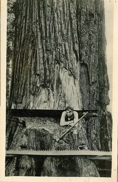 Lumberjack in a giant Redwood, 1905 Vintage Pictures, Old Pictures, Vintage Images, Old Photos, Tree Logs, Old Trees, Giant Tree, Big Tree, Design Visual