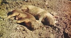 Raising Pigs basic info - Mother Earth news Bartke Pig In Mud, Pig Pen, Future Farms, Pig Farming, Sustainable Farming, Mother Earth News, Mini Farm, Raising Chickens, Baby Chickens