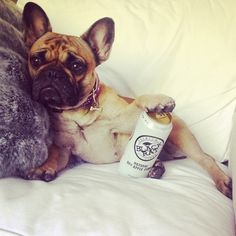 """What?.... It's Non-Alchoholic Cider."". Sassy French Bulldog."