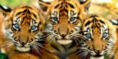 Avaaz - Kein Kohlekraftwerk - Rettet die letzten Tiger!