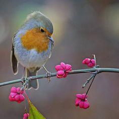 ideas for bird photography robin sweets Pretty Birds, Love Birds, Beautiful Birds, Animals Beautiful, Cute Animals, Small Birds, Little Birds, Colorful Birds, Image Xxl