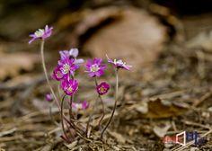 <<봄을 재촉하는 노루귀꽃>> 아직 봄바람이 거세게 불어오지만 자연의 섭리는 언제나 그 시간이 되면 새로운 모습으로 우리들에게 다가온다. 봄을 알리는 꽃 노루귀꽃은 잎보다 꽃이 먼저 피어난다. 노루귀꽃은 그 잎이 새끼 노루의 귀를 닮았다고 해서 노루귀라 불리어 진다. 흰색, 연분홍색이 있고 청록색을 가진 것은 청노루귀꽃으로 불린다. 이달 말일이면 청노루귀꽃의 예쁜 모습을 볼 수 있을 것이다. 노루귀꽃의 감상 포인트는 빛을 받은 줄기부분의 아주 작은 솜털이 역광을 받아서 빛나는 것이다. (구봉도 해솔길에서. 뉴스바로 장덕수 기자 2014.3.17)