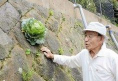 石垣からキャベツ 凄いですこんな事あるんですね(_;)  場所は長崎県対馬市住宅地の市道沿いの石垣のすき間  石垣の上に住む87歳の男性によると自宅横の畑で野菜を作っていてそこから種が飛んだのではないかとの事です  思わず立ち止まって二度見してしまうくらい不思議な光景ですよね笑 まさにど根性キャベツです   tags[長崎県]