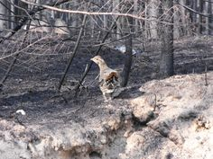 MyNews contributor Darren Lawley sent in this photo of a grouse walking through trees that were burned by a forest fire near Timmins, Ont. on Thursday, June 7, 2012.