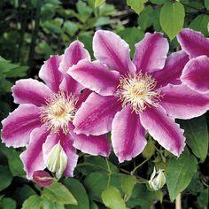 Clematis 'Dr Ruppel' (Large Plant) - Climbing Plants - Van Meuwen