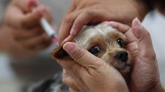 First aid Care for Rabies, Symptoms and Remedies
