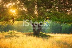 Majestic Tree against Harsh Sunlight during Colorful Sunset -shallow DOF Royalty Free Stock Photo