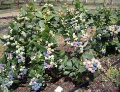 Plants and Flowers, White Pink And Purple And Blue Dwarf Blueberry Plant That Look So Leafy And Cute With Many Fruits And Leaves Without Pot In The Large Yard With Small Path And Some Big Trees ~ The Dwarf Blueberry Plants That Has The Cute And Small Fruits