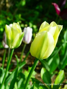 Tulipa 'Spring Green' and 'Flamingo Flag'