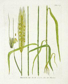 Rye|Ferdinand Vietz Botanical Prints 1800