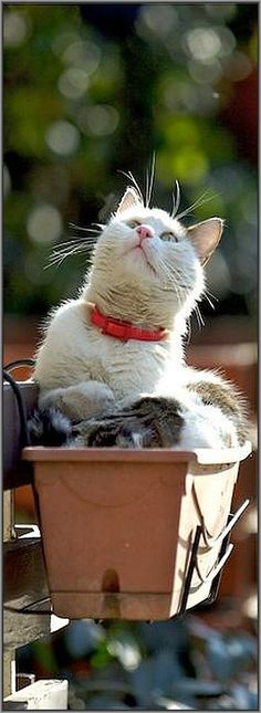Cat in the Pot  #photo by jevigar #kitty kitten cats animal pet fur fluffy cute nature
