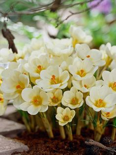 """Snow Crocus 'Crocus Cream Beauty' - Blooms of buttery yellow with neon orange stamens emerge very early in the spring. Height 3"""". Zones 3-8"""