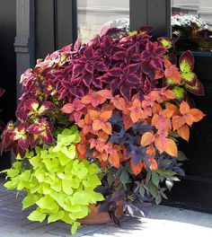 sweet potato vine and coleus - Click image to find more Gardening Pinterest pins
