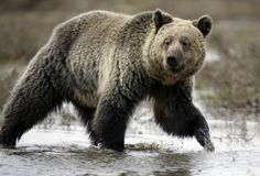 An alleged grizzly bear attacked and killed a seasoned hiker from Montana in Yellowstone National Park on Friday, park officials said.