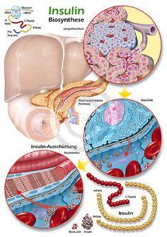 Physiologie-Poster für Biochemie und Pharmazie, Biosynthese des Insulin in den Beta-Zellen der Langerhans-Inseln der Bauchspeicheldrüse, Pankreas