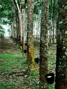 CAUCHO arbol emblematico de Amazonas - Buscar con Google