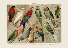 Dieses hochwertige Giclèe Druck enthält: Papageien, Aras, Sittiche, Turteltauben Jahrgang Papagei Druckqualität - tropischen Papagei und Sittich-Kunstdruck - Vintage Vogel Illustration - Wissenschaft Wandkunst - Museum Aufgewachsen, hatte ich eine Reihe von Sittiche, die ich