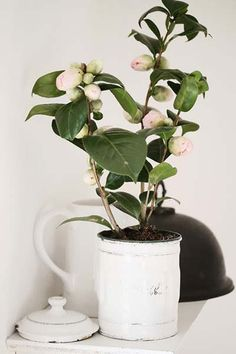 http://www.flamingpetal.co.nz/plant-now-camellias/#more-3651 camellia3