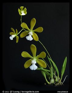 Encyclia tampensis alba. A species orchid