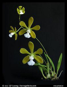 Encyclia tampensis alba. A species orchid