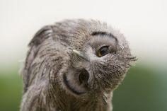owls | baby-scops-owl-by-brianscott