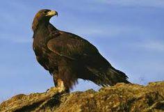 'Apennine golden eagle (Aquila reale; Aquila chrysaetos chrysaetos): A majestic bird of prey and the largest bird found in western Abruzzo.' Abruzzo: the Bradt Guide www.bradtguides.com