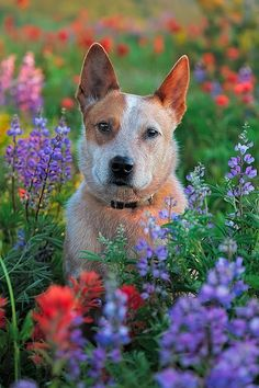 Red Heeler in Bluebonnets Gus Cute Puppies, Cute Dogs, Dogs And Puppies, Animals And Pets, Cute Animals, Strange Animals, Austrailian Cattle Dog, Australian Cattle Dog Red, Dog Rules