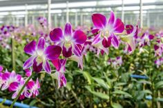 Growing Orchids From Cuttings