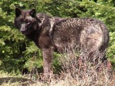 SALEM — A conservation group that has challenged state and federal management of gray wolves in Oregon has filed a complaint against lawmakers for what it says were misleading and inaccurate statements during debate on a wolf bill in the recent legislative session. Cascadia Wildlands filed the complaint Monday with the Government Ethics Commission alleging Reps. Brad Witt, D-Clatskanie; Greg Barreto, R-Cove; and Sal Esquivel, R-Medford, misled colleagues who later approved a controversial…