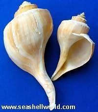 Channeled Whelk Sea Shells @ seashell world