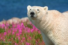 Interview: Playful Photos of Polar Bears Frolicking in Flower Fields During Summer - My Modern Met Happy Animals, Animals And Pets, Cute Animals, Baby Animals Pictures, Cute Animal Pictures, Polar Bears In Canada, Champs, Bear Hunting, Wildlife Photography