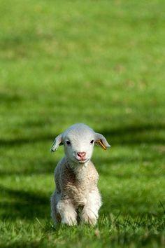 baby sheep! Cute!!