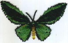 Butterfly Ornithoptera Priamus Poseidon. Male Pattern