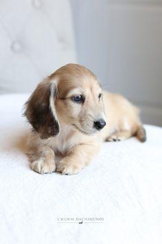Cream Dachshund, Dachshund Love, Cute Puppies, Cute Dogs, Baby Animals, Cute Animals, Baby Dogs, Funny Cute, Puppy Love