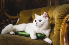 How to Cure Your Cat's Fear of Cucumbers! Cats And Cucumbers, Funny Animals, The Cure, Post, Internet, Videos, Nosey People, Cats, Doggies