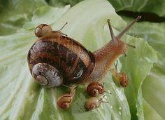 mama snail & babies