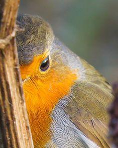 Vroege Vogels sur Instagram: Verstoppertje spelen met een roodborstje. Fotograaf: tonpetrus . . . . #vroegevogels_bnnvara #vroegevogels #natuur #nature…